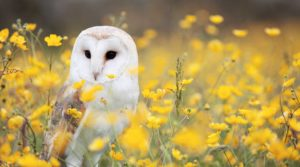 Snowy Owl; Credit: Andy Chilton