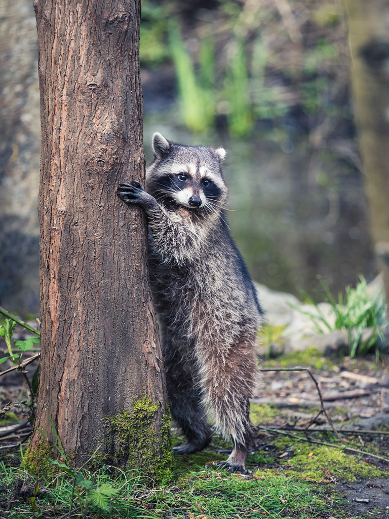 raccoon in BC forest grabbing a tree
