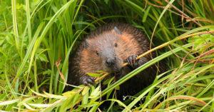 beaver in the wild