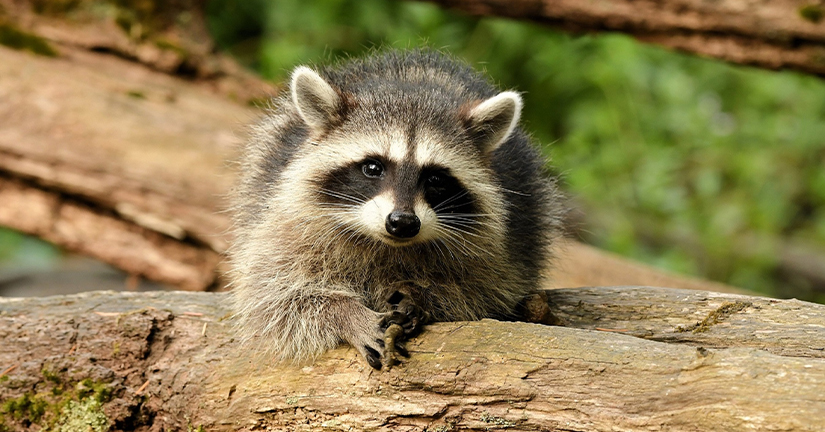 Raccoon in the wild looking at camera