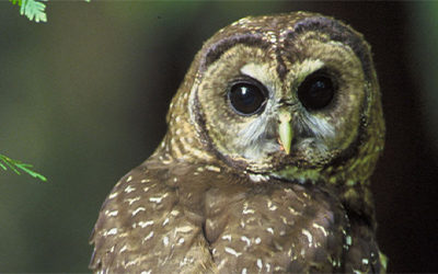 Northern spotted owl BC wildlife