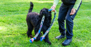black dog playing with dog trainer outdoors