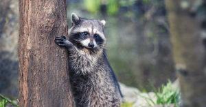 raccoon hugging tree