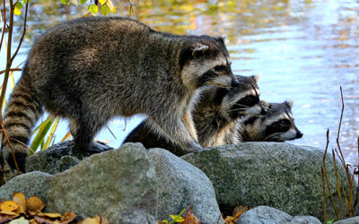family of raccoons near pond