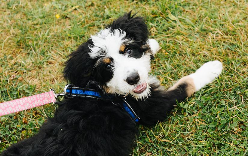 Bernadoodle puppy dog