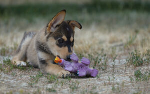 puppy playing with toy on grass