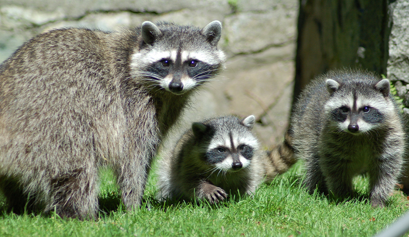 Family of raccoons on green grass