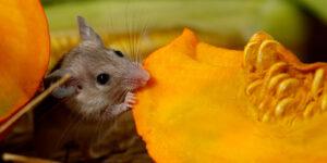 mouse nibbles pumpkin