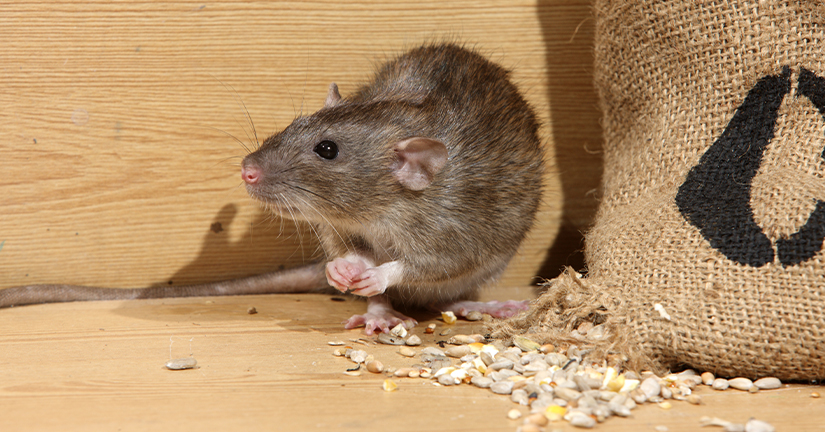Rat by grain bag
