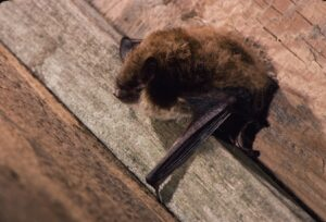 Little brown bat holding on to wood plank