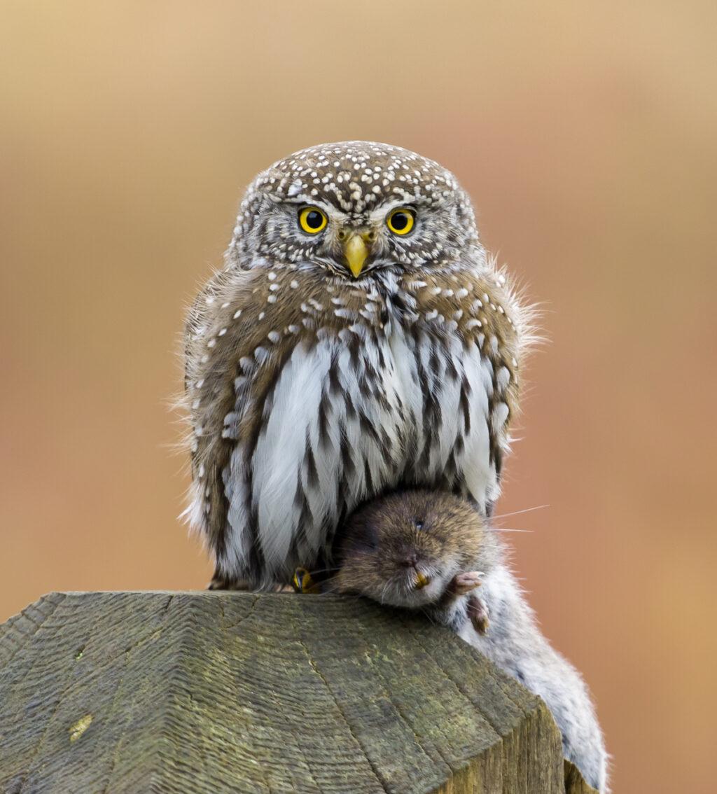 Northern pygmy owl holding vole