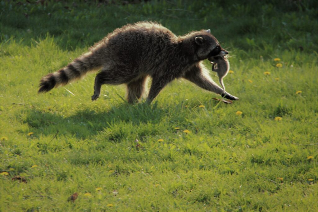 Raccoon carrying newborn kit in mouth