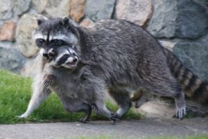 Raccoon carrying young kit in mouth