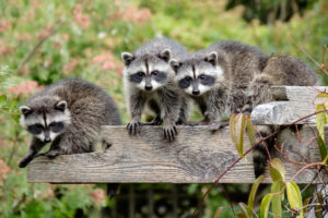 Family of young raccoons sitting on wooden beams